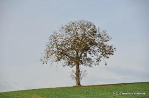 Ein Baum, der bereits sein herbstliches Kleid abgelegt hat.